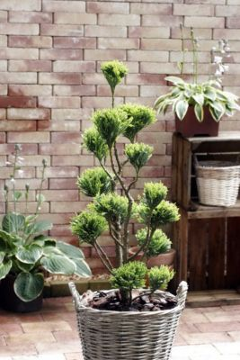 Zypresse Chamaecyparis Ellwoodii Pon Pon, 1 Pflanze