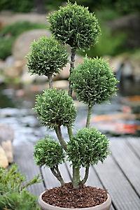 Zypresse Chamaecyparis Ellwoodii Pon Pon, 1 Pflanze - Produktdetailbild 1